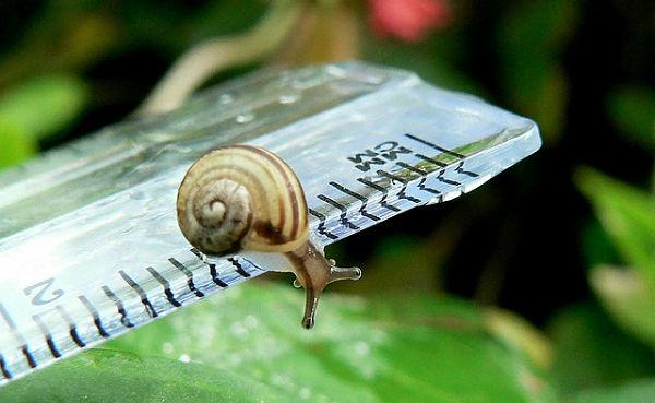 Snail on a ruller