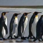 Line of penguins