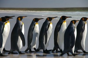 Line of penguins