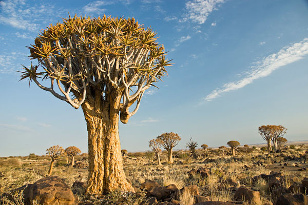 The Quiver Tree is also known as Kokerboom and Choje to the indigenous San people of southern Africa. (Photo:  Njambi Ndiba/Flickr, CC BY-SA)