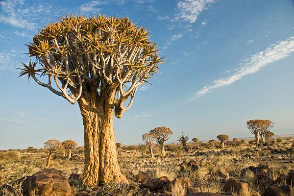 sacfed tree
